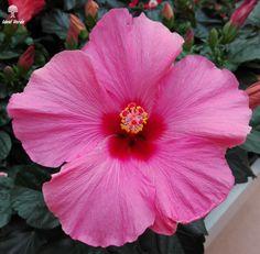 #ibiscus #flower #vivaidealverde