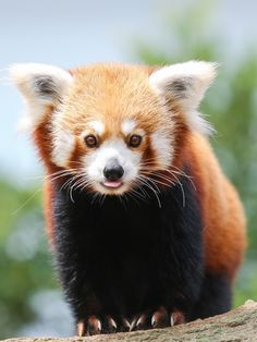 Red Panda by Weiyi Chua on 500px