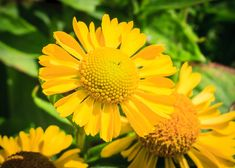 Helenium are very easy to propagate since they are herbaceous perennials. They have dazzling petals and soft middles. Striking flame like colors are also grown along with some yellow and red ones.