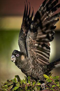 Carnaby's Black-Cockatoo