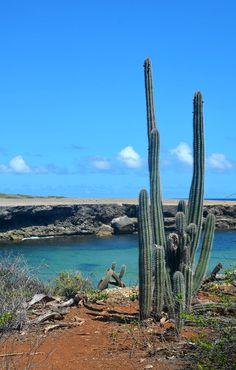curacao cactus