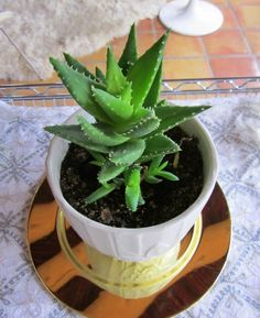 Improve Your Interior Design With Natural Green Touch of Aloe Vera ...