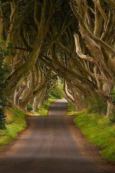 scenic / The Dark Hedges ~ Ireland