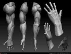 Anatomy Drawing Male Heroic Male Arm/Hand by Antonio Salazar Valero Human Anatomy 3d, Zbrush Anatomy, Hand Anatomy, Body Anatomy, Anatomy Sketches, Anatomy Drawing, Anatomy Art, Arm Muscle Anatomy, Forearm Anatomy
