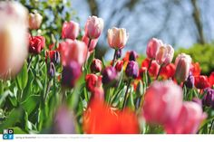 Picture: Rob Donders | Location: Keukenhof - The Netherlands | Flower bulbs & Spring