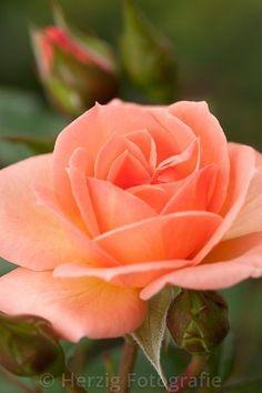 Little Lady - Floribunda Rose