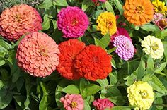 Eden Brothers Zinnia Seeds Dwarf Pepito Mix Ounce >>> Check this awesome product by going to the link at the image.