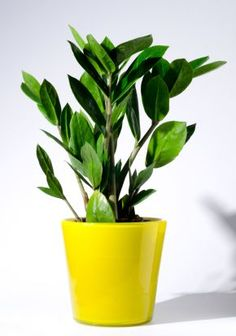 """The zeezee plant and the snake plant it has been said, """"are two indoor house plants that are impossible to kill."""" They tolerate neglect and can be placed in areas of your home that receives very little light."""