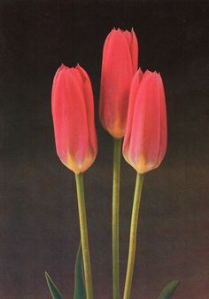 Tulip «Rosy Wings´»