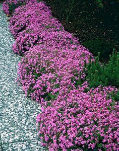 Peony Celebrity - 1 plant Buy online order yours now Pergola Garden, Backyard Landscaping, Garden Plants, Moss Phlox, Gazebo Decorations, Creeping Phlox, Landscape Borders, Garden Architecture, Colorful Garden
