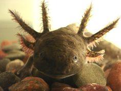 Este anfibio mexicano ha sido objeto de estudios por sus habilidades de metamorfosis y regeneración de órganos.