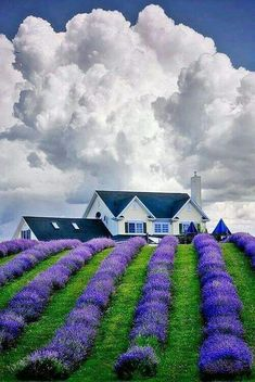 All purple flowers are beautiful and with meanings of their own. Beautiful purple flowers for your garden Lavender Blue, Lavender Fields, Lavender Flowers, Purple Flowers, Lavander, Lavender Cottage, Beautiful World, Beautiful Places, Beautiful Pictures