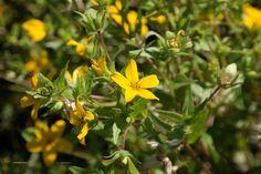 Lindheimera texana, Texas ster plant uit 'zonnebloem familie' en de madeliefjes tak. Nog niet in NL verkrijgbaar. Zonnige plek, blijven vrij klein.