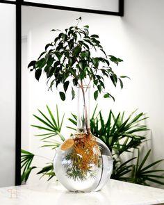 hydroponic ficus benjamina - All About Gardens Hydroponic Plants, Hydroponics, Ficus, Water Plants Indoor, Aquatic Plants, Indoor Garden, Glass Planter, Bottle Garden, Bathroom Plants