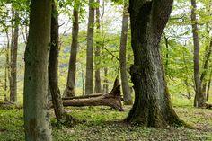 'Alte Bäume im frühlingshaften Wald' von Ronald Nickel bei artflakes.com als Poster oder Kunstdruck $6.48