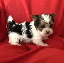 Healthy Adorable Tiny Cutest Pocket Puppies Yorkie Puppies For Sale In Texas Yorkshire Terrier Pu Yorkie Puppy For Sale Yorkie Dogs For Sale Yorkie Puppy