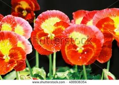Group of red and yellow pansies with raindrops