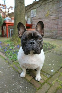Nell, the French Bulldog