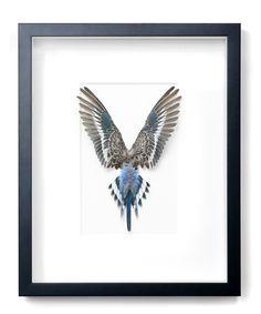 14×18 Shell Parakeet – Blue   Pheromone