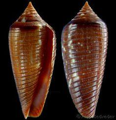Phasmoconus cinereus gubba (f)  Kiener, L.C., 1845 Sunburnt Cone Shell size 15 - 57 mm New Guinea