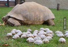 Herd of baby tortoises. I LOVE turtles and tortoises!!!!!! I really REALLY want one!! I fancy box turtles cause idk I like them the best. They're so cute!!!!!