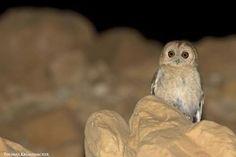 Proposition de reconnaissance d'une nouvelle nouvelle d'oiseau, la Chouette d'Hadoram (Strix hadorami) | Cliché de Thomas Krumenacker (www.krumenacker.de) : la Chouette d'Hadoram (Strix hadorami), actuellement appelée Chouette de Butler (Strix butleri), photographiée dans le sud d'Israël en 2014. #ornithologie #oiseaux #nature #birds