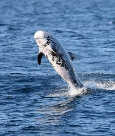 Up-close encounters with Risso's dolphins are extremely rare, and relatively little is known about them, so the students and marine biologis...
