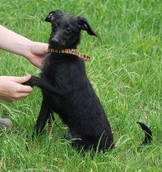italian greyhound poodle mix - Google Search