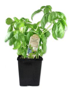 Basil Plants, $2.99 Fresh basil, the best, and you can keep growing more.