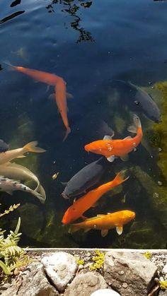 Koi Fish Aquarium, Koi Fish Pond, Koi Carp, Betta Fish, Beautiful Fish, Animals Beautiful, Cute Flower Wallpapers, Fish Pond Gardens, Garden Pond Design