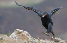 verreaux's (black) eagle (photo by ettienne van niekerk) Different Types Of Eagles, Van Niekerk, Black Eagle, Eagle Bird, Lovely Creatures, Birds Of Prey, Great Shots, Bird Watching, Bird Feathers