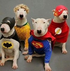 Uplifting So You Want A American Pit Bull Terrier Ideas. Fabulous So You Want A American Pit Bull Terrier Ideas. Mini Bull Terriers, English Bull Terriers, Bull Terrier Dog, I Love Dogs, Cute Dogs, Tierischer Humor, Funny Animals, Cute Animals, Bullen