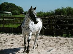 Project Appaloosa Gelding For Sale in Stoke On Trent, Staffordshire | Preloved
