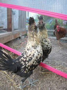 Chickens love to look at themselves! (via Out of Eden) Mine love looking at themselves in tje oven door reflection.