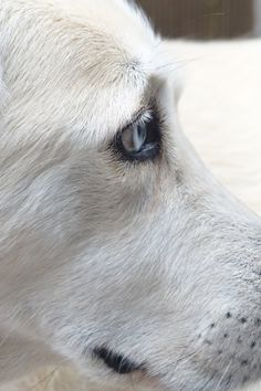 Free download of this photo: https://www.pexels.com/photo/white-short-coated-dog-face-60902/ #animal #dog #pet