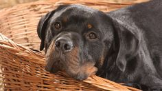 What's cuter than a rottie in a basket?