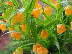 Chinese Lantern - Sandersonia aurantiaca - Calyx Flowers, Inc Calyx Flowers, Cut Flowers, Colorful Flowers, Maori People, Whole Earth, Chinese Lanterns, Dear Lord, Orange Red, 1980s