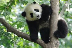 Baby Panda on the tree. Lovely baby Panda on the tree , Panda Tree, Panda China, Save The Pandas, Wild Panda, Panda Day, The Bear Family, Sloth Bear, In Pursuit, Parrots