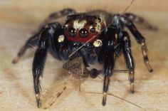Vampire Spiders Hunt Blood-Filled, Malaria-Spreading Mosquitoes | IFLScience