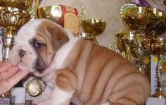 allevamento dispone di cuccioli di bulldog inglesi ,abbiamo sia maschi che femmine,ma se desiderate potete visionarli collegandovi al nostro sito  www.amorebulldoginglesi.webnode.it    vi trovate i cuccioli disponibbili e di ogniuno la loro scheda e foto descrittiva,tutti i nostri cuccioli hanno ,microcip passaporto e pedigree,vengono consegnati con non meno di 75gg di età - See more at: http://annuncigratistop.it/ads/cuccioli-di-bulldog-inglesi/#sthash.NuTehVft.dpuf