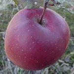 Gloster - Fruitbomen.net Mobiel