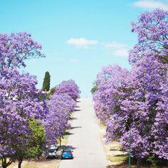 Jacarandas avenue in Perth, Western Australia. So bright and beautiful! Perth Western Australia, Australia Travel, The Beautiful Country, Beautiful Places, Great Barrier Reef Australia, Melbourne, Westerns, Brisbane Queensland, Vacation Places
