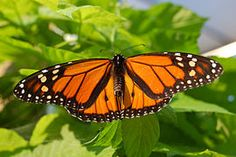 Monarque (papillon) — Wikipédia