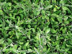 Corokia Pipsqueak - silver green. 60cm