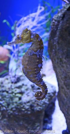 by stark house productions, via Flickr // seahorse... ripleys aquarium in gatlinburg