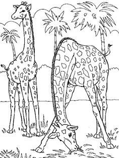 Two Giraffes Medium Eating Grass