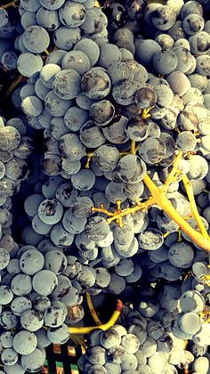 Uva matura e sana. NIce looking grapes, will produce Amircal 2016 Organic wine.