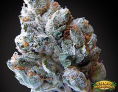 Blueberry-Kush-Bud.jpg (JPEG Image, 1095 × 863 pixels) - Scaled (82%)
