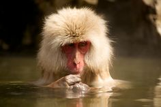 we love a snow monkey from Japan