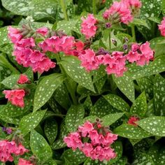 Garden flowers Pulmonaria Shrimps on the Barbie -- Bluestone Perennials How Garden Art Creates Your Beautiful Flowers, Ground Cover, Plants, Flowers, Pink Flowers, Flowers Perennials, Container Gardening, Shade Plants, Shade Perennials
